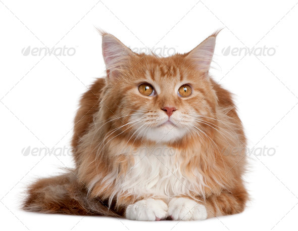 Maine Coon kitten sitting in front of white background - Stock Photo - Images
