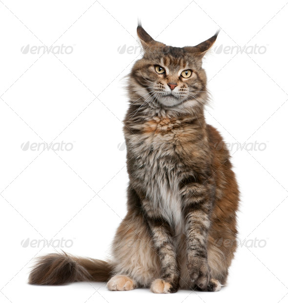 Maine coon cat, 3 years old, sitting in front of white background - Stock Photo - Images