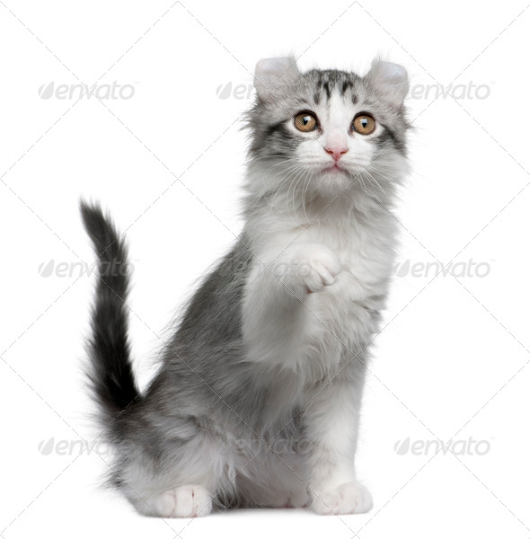 American curl kitten, 11 weeks old, sitting in front of white background - Stock Photo - Images