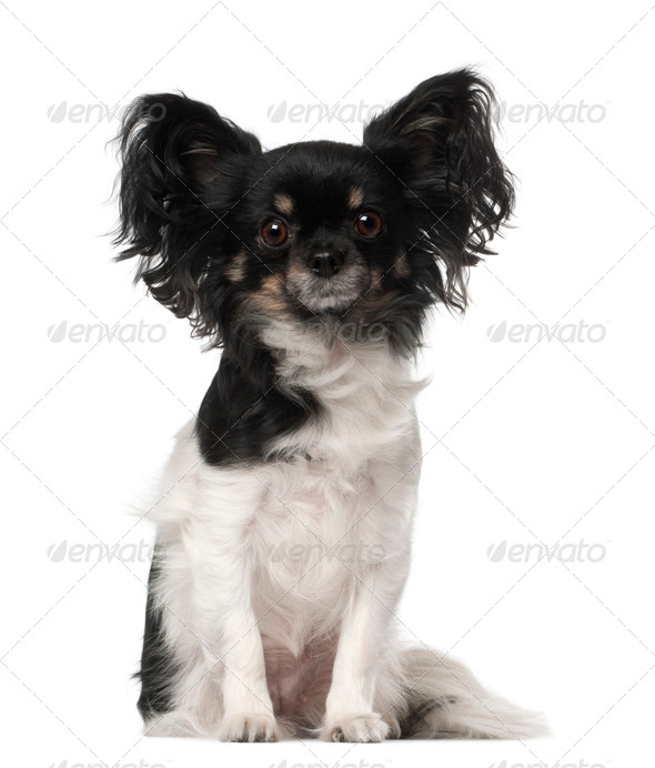 Crossbreed dog sitting in front of white background - Stock Photo - Images