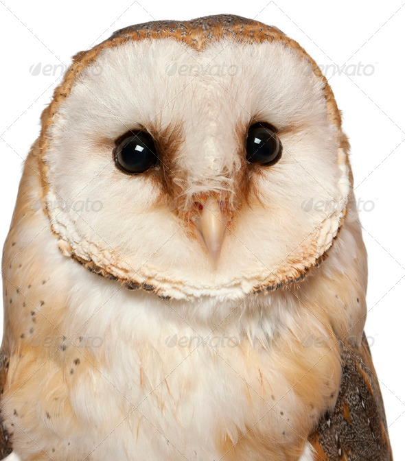 Portrait of Barn Owl, Tyto alba, in front of white background - Stock Photo - Images