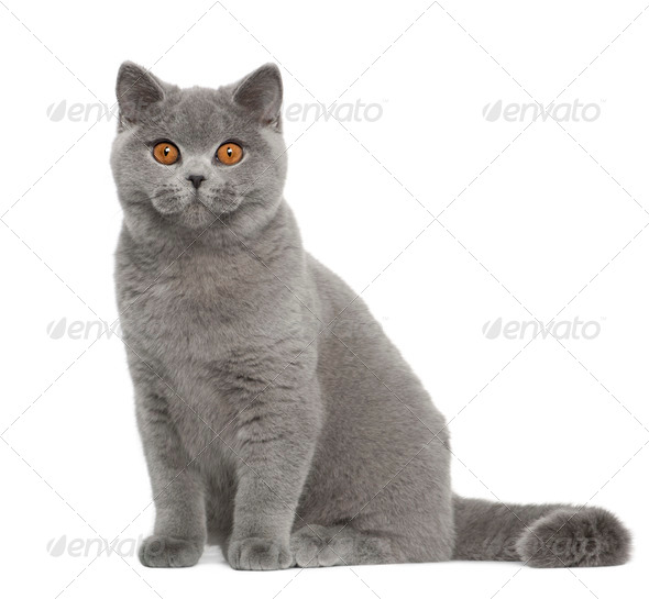 Portrait of British Shorthair cat, 5 months old, sitting in front of white background - Stock Photo - Images