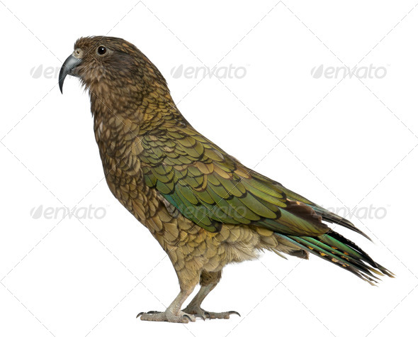 Kea, Nestor notabilis, a parrot, standing in front of white background - Stock Photo - Images