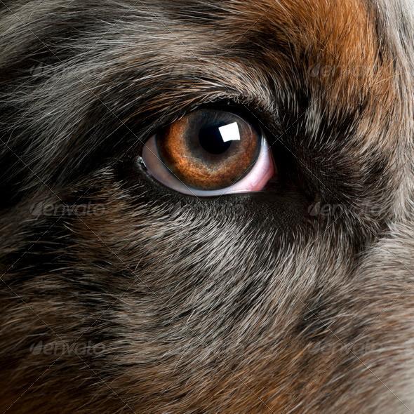 Close up of dog's eye, Australian Shepherd - Stock Photo - Images