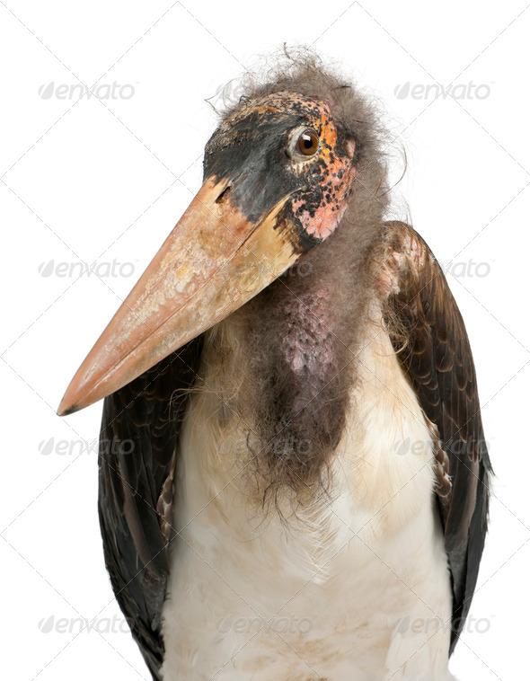 Marabou Stork, Leptoptilos crumeniferus, 1 year old, in front of white background - Stock Photo - Images