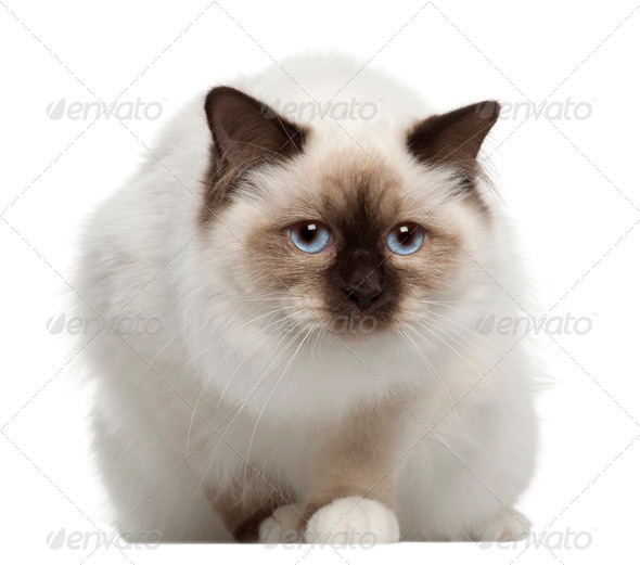 Portrait of Birman cat, sitting in front of white background - Stock Photo - Images