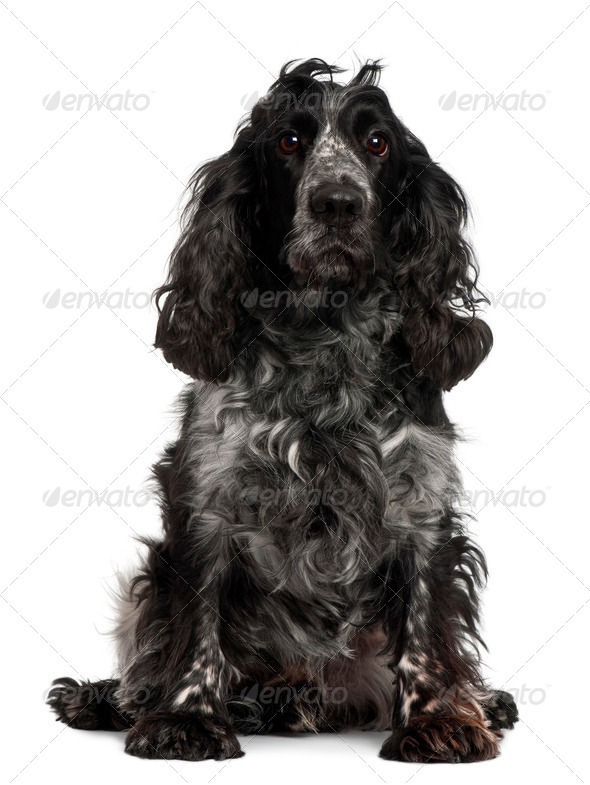 English Cocker Spaniel, 4 years old, sitting in front of white background - Stock Photo - Images