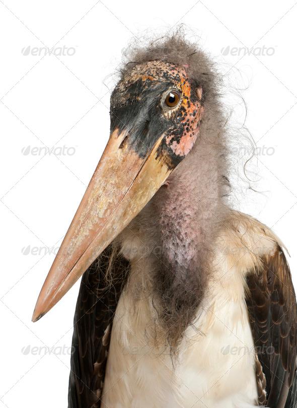 Portrait of Marabou Stork, Leptoptilos crumeniferus, 1 year old, in front of white background - Stock Photo - Images