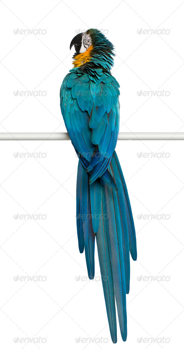 Blue and Yellow Macaw, Ara Ararauna, perching in front of white background - Stock Photo - Images