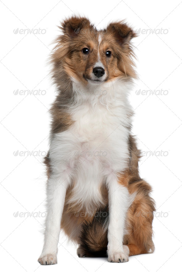 Shetland Sheepdog puppy, 5 months old, sitting in front of white background - Stock Photo - Images