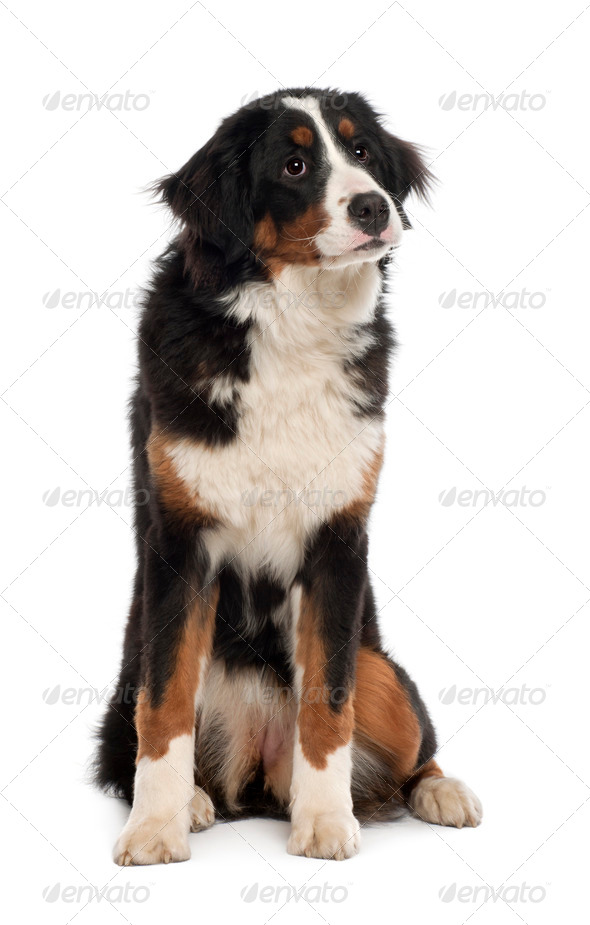 Bernese Mountain Dog, 10 months old, sitting in front of white background - Stock Photo - Images