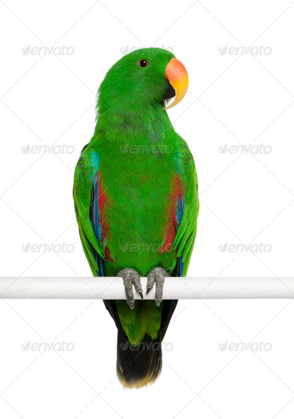 Male Eclectus Parrot, Eclectus roratus, perching in front of white background - Stock Photo - Images