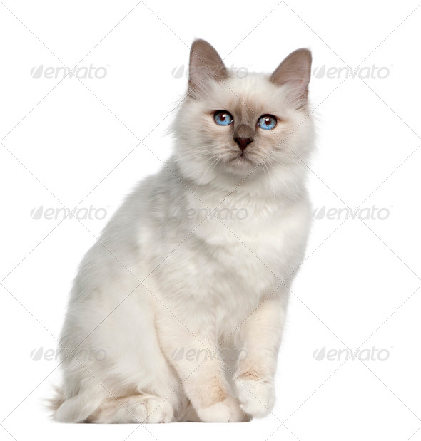 Portrait of Birman cat, 5 months old, sitting in front of white background - Stock Photo - Images