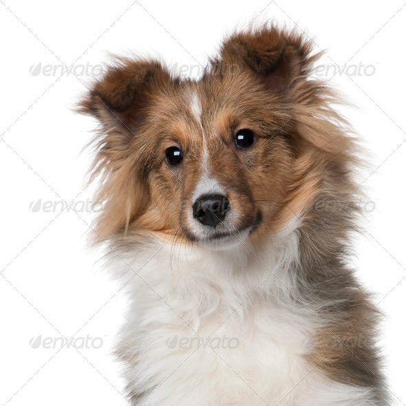 Shetland Sheepdog puppy, 5 months old, in front of white background - Stock Photo - Images