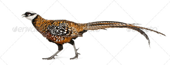 Male Reeves's Pheasant, Syrmaticus reevesii, can grow up to 210 cm long - Stock Photo - Images