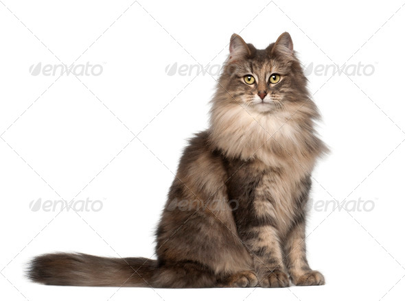 Portrait of Norwegian Forest Cat, 1 and a half years old, sitting in front of white background - Stock Photo - Images