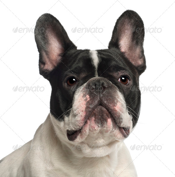 Portrait of French Bulldog, 2 years old, in front of white background - Stock Photo - Images