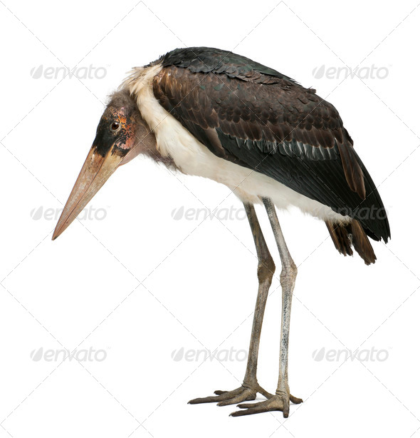 Marabou Stork, Leptoptilos crumeniferus, 1 year old, standing in front of white background - Stock Photo - Images