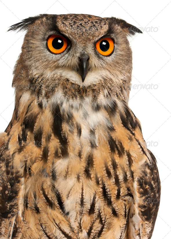 Portrait of Eurasian Eagle-Owl, Bubo bubo, a species of eagle owl in front of white background - Stock Photo - Images