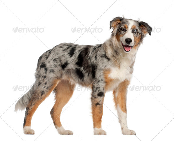 Portrait of Australian Shepherd, 5 and a half months old, standing in front of white background - Stock Photo - Images