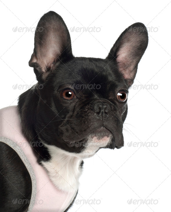 Close up of French Bulldog, 13 months old, in front of white background - Stock Photo - Images