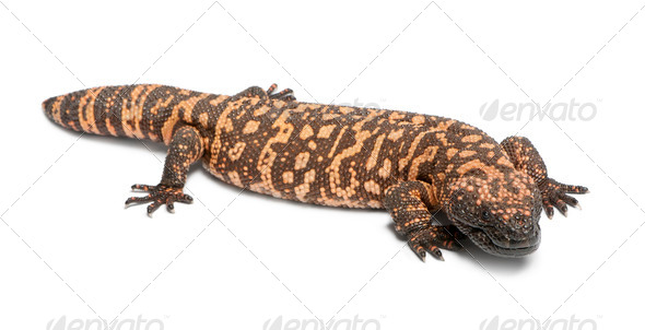 Gila monster - Heloderma suspectum, poisonous, white background - Stock Photo - Images