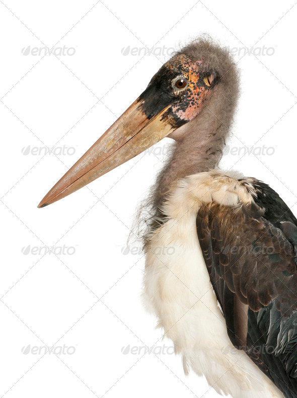 Portrait of Marabou Stork, Leptoptilos crumeniferus, 1 year old, in front of white background - Stock Photo - Images