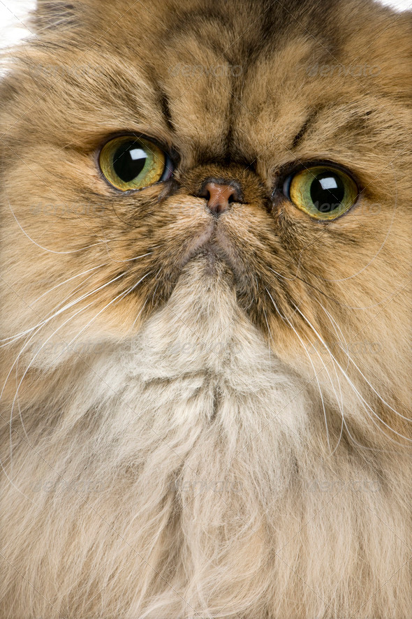 Close-up of British shorthair cat, 11 months old - Stock Photo - Images