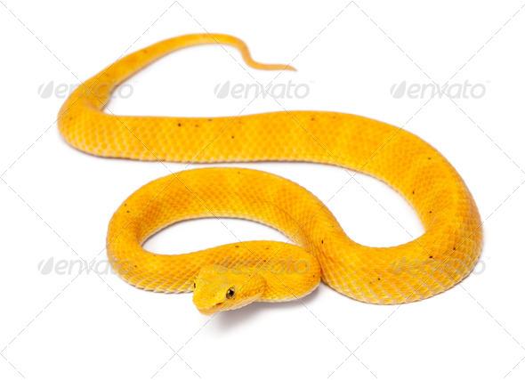 Yellow Eyelash Viper - Bothriechis schlegelii, poisonous, white background - Stock Photo - Images