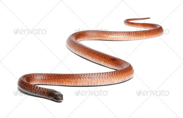 Egyptian cobra - Naja haje, poisonous, white background - Stock Photo - Images