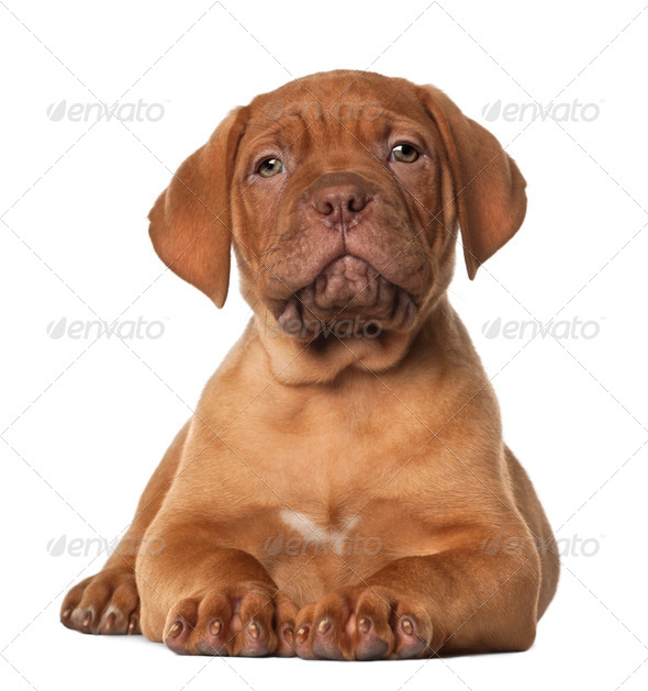 Dogue de Bordeaux puppy, 8 weeks old, lying in front of white background - Stock Photo - Images