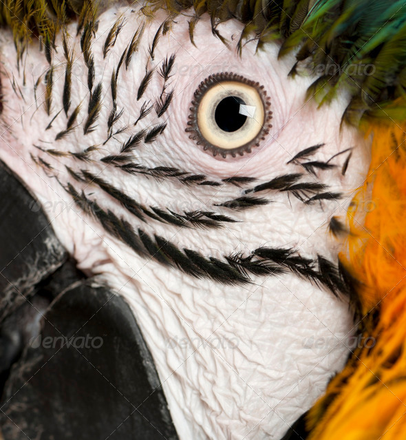 Portrait of Blue and Yellow Macaw, Ara Ararauna, eye - Stock Photo - Images