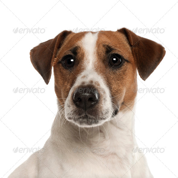 Portrait of Jack Russell Terrier, 1 year old, in front of white background - Stock Photo - Images