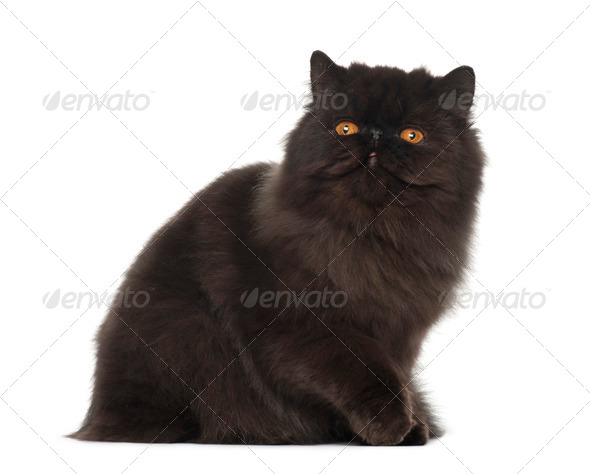 Persian cat, 7 months old, sitting in front of white background - Stock Photo - Images