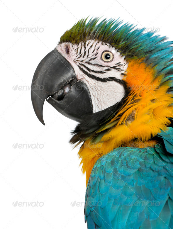 Close up of Blue and Yellow Macaw, Ara Ararauna, in front of white background - Stock Photo - Images