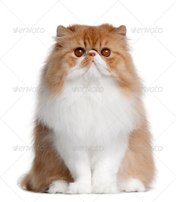 British shorthair cat, 11 months old, sitting in front of white background - Stock Photo - Images
