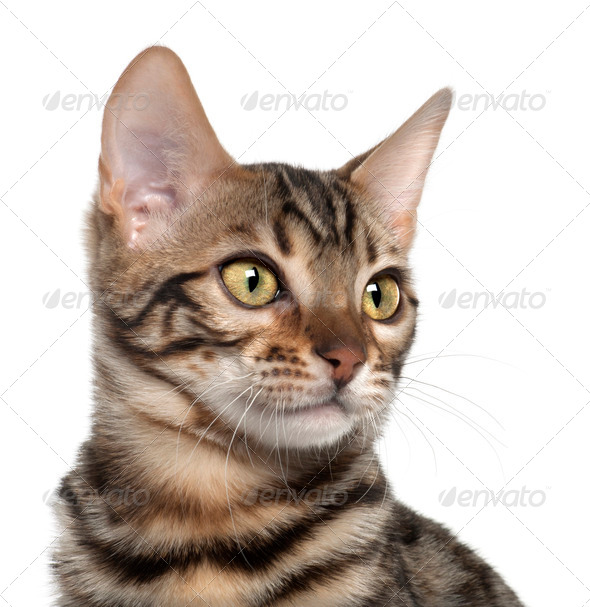 Close up of Bengal kitten, 4 months old, in front of white background - Stock Photo - Images