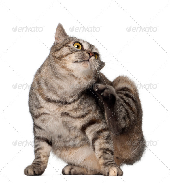 Kurilian Bobtail cat, 1 year old, scratching in front of white background - Stock Photo - Images