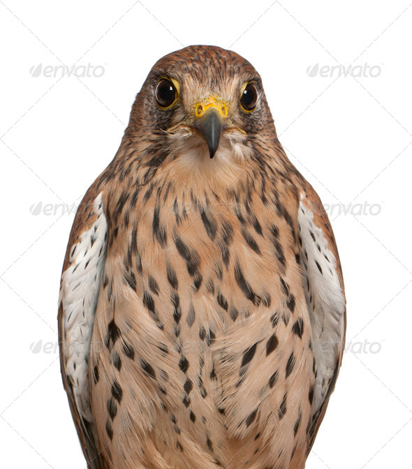 Portrait of Common Kestrel, Falco tinnunculus, a bird of prey in front of white background - Stock Photo - Images