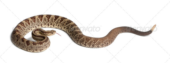 South American rattlesnake - Crotalus durissus,  poisonous, white background - Stock Photo - Images