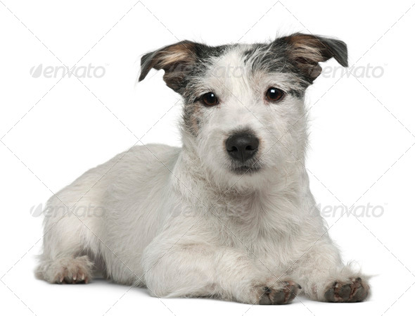 Mixed-breed dog, 7 months old, lying in front of white background - Stock Photo - Images