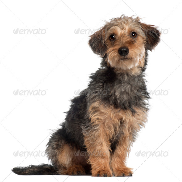 Portrait of Dachshund, 10 months old, sitting in front of white background - Stock Photo - Images