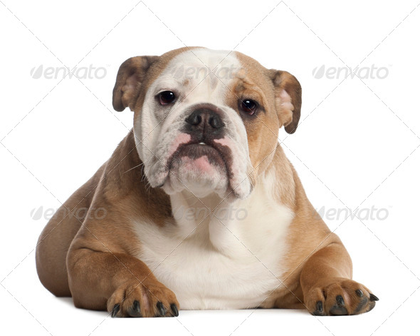 Portrait of English Bulldog, 7 months old, in front of white background - Stock Photo - Images