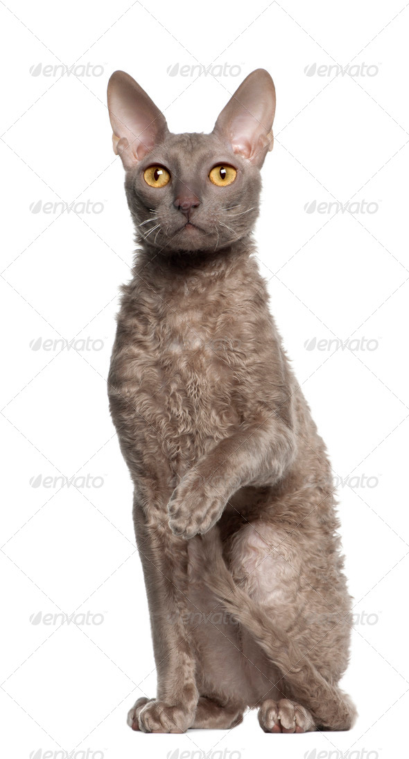 Portrait of Cornish Rex cat, 9 months old, sitting in front of white background - Stock Photo - Images