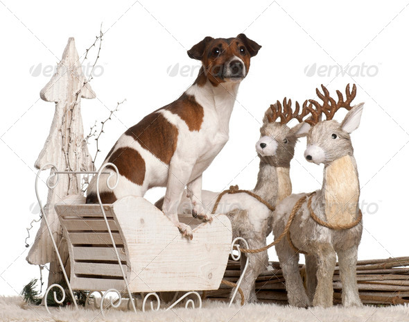 Jack Russell Terrier, 2 years old, in Christmas sleigh in front of white background - Stock Photo - Images