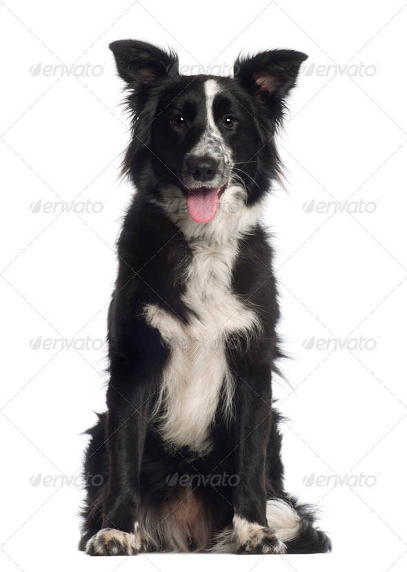 Portrait of Border Collie, 1 year old, sitting in front of white background - Stock Photo - Images