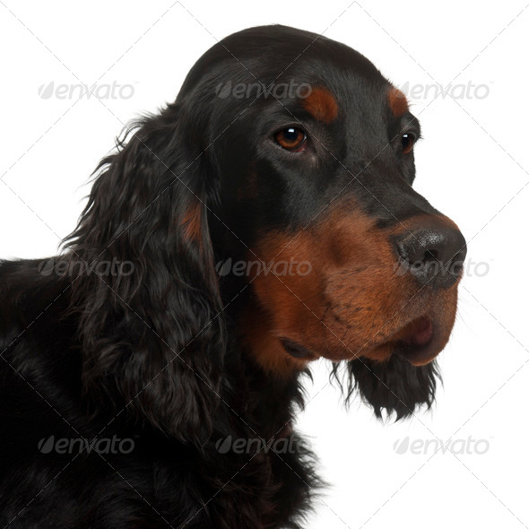 Gordon Setter puppy, 6 months old, in front of white background - Stock Photo - Images
