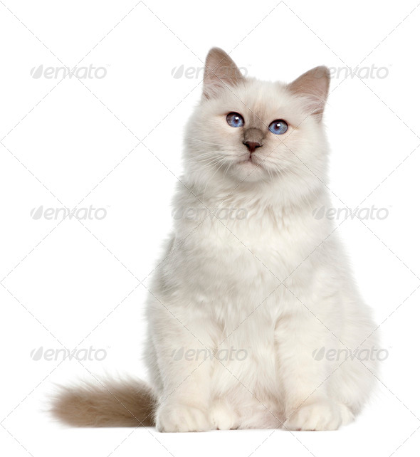 Portrait of Birman cat, 6 months old, sitting in front of white background - Stock Photo - Images