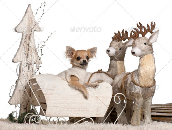 Chihuahua puppy, 6 months old, in Christmas sleigh in front of white background - Stock Photo - Images