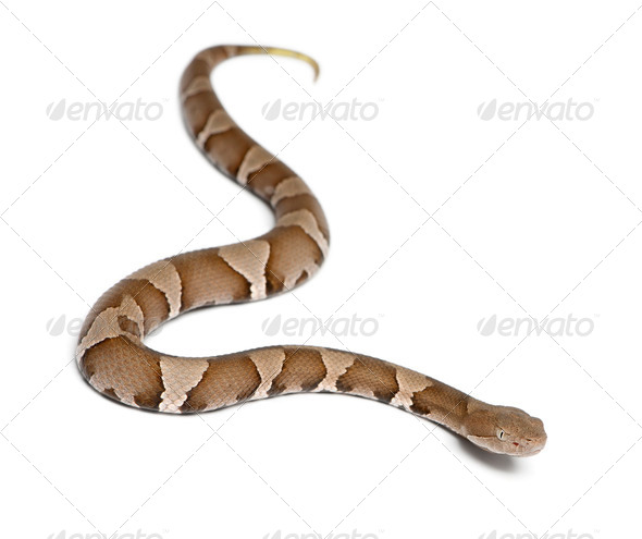 Young Copperhead snake or highland moccasin - Agkistrodon contortrix(poisonous) - Stock Photo - Images